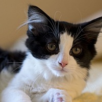 Adopt A Pet :: Precious - Chattanooga, TN