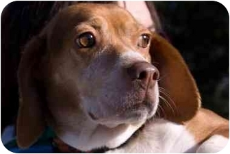Beagle Dog for adoption in Battleground, Indiana - Daisy