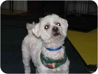 Bichon Frise Mix Dog for adoption in Rigaud, Quebec - Dudley