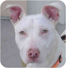 Bull Terrier Mix Puppy for adoption in Reno, Nevada - Marco