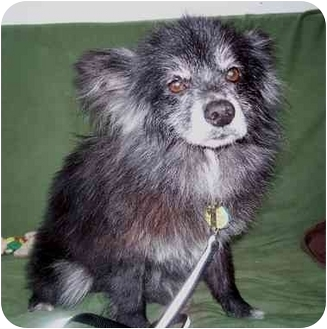 Pomeranian Dog for adoption in Cincinnati, Ohio - Teddy