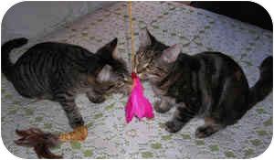 Domestic Shorthair Kitten for adoption in Putnam Valley, New York - Athena