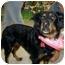 Photo 2 - Gordon Setter/Rottweiler Mix Dog for adoption in Scottsdale, Arizona - Mandy