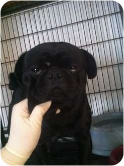 Pug Dog for adoption in Lonedell, Missouri - buster