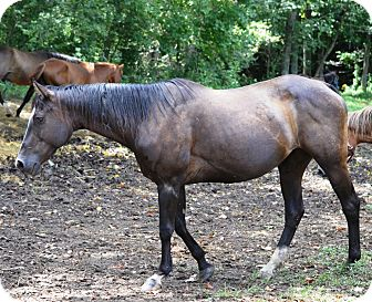 Quarterhorse Mix for adoption in Waleska, Georgia - Storme