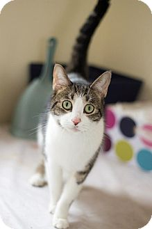 American Shorthair Cat for adoption in San Antonio, Texas - Tweak