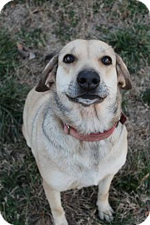 Labrador Retriever/German Shepherd Dog Mix Dog for adoption in Wytheville, Virginia - Darling Darla