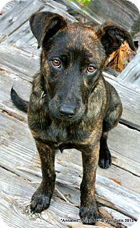 Plott Hound/Feist Mix Puppy for adoption in Metairie, Louisiana - Annabell - Miss Gorgeous