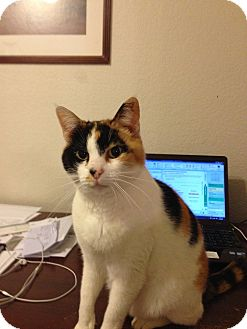 Calico Cat for adoption in Fort Worth, Texas - Snickers
