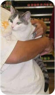 Domestic Shorthair Cat for adoption in San Pedro, California - Buckley