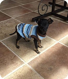 Chihuahua Mix Puppy for adoption in New Oxford, Pennsylvania - Andrew