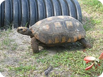 Tortoise for adoption in Christmas, Florida - Herbie & Sinclair