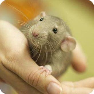 Rat for adoption in West Des Moines, Iowa - Geo