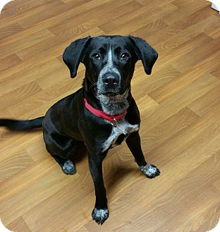 Springer Spaniel/Australian Cattle Dog Mix Dog for adoption in Lisbon, Ohio - Murphy