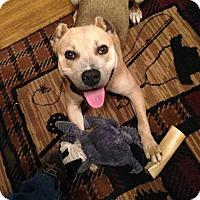 Adopt A Pet :: Levi - Bedminster, NJ