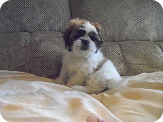 Shih Tzu Puppy for adoption in Riverside, California - Caesar