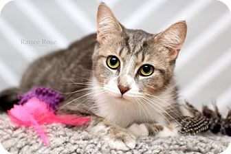 Domestic Shorthair Cat for adoption in Sterling Heights, Michigan - Fazi - ADOPTED
