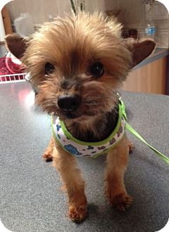 Yorkie, Yorkshire Terrier Dog for adoption in Mississauga, Ontario - Sara