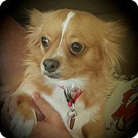 Adopt A Pet :: FOXY - Torrance, CA