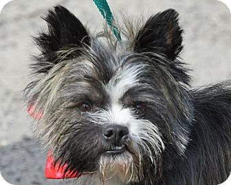 Yorkie, Yorkshire Terrier/Terrier (Unknown Type, Small) Mix Dog for adoption in New Haven, Connecticut - BOB