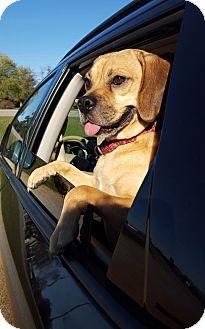 Beagle/Pug Mix Dog for adoption in Huntsville, Alabama - Bodie