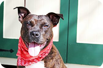 Pit Bull Terrier Mix Dog for adoption in Odessa, Florida - Lexi