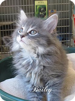 Domestic Shorthair Kitten for adoption in Jackson, New Jersey - Bailey