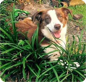 Australian Shepherd Dog for adoption in Houston, Texas - Nutmeg