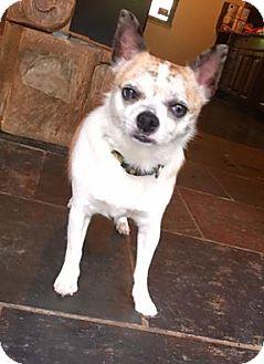 Chihuahua Dog for adoption in Pittsburgh, Pennsylvania - Dozer