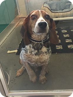 Beagle Mix Dog for adoption in Wilmington, Delaware - Blue