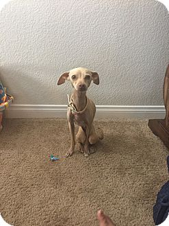 Italian Greyhound Mix Dog for adoption in Las Vegas, Nevada - Skitty