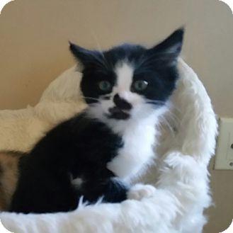 Domestic Shorthair Kitten for adoption in Turnersville, New Jersey - Jethro