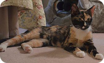 Calico Cat for adoption in Horsham, Pennsylvania - Meadow