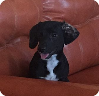 Dachshund/Chihuahua Mix Puppy for adoption in Higley, Arizona - DAVEY