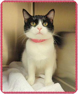Domestic Shorthair Cat for adoption in Marietta, Georgia - POLLY