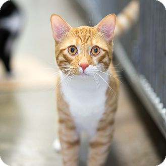 Domestic Shorthair Cat for adoption in Montclair, California - Isaac
