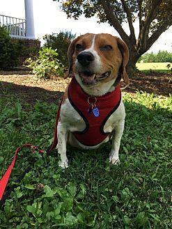 Beagle Mix Dog for adoption in Waldorf, Maryland - Sunshine Baltimore