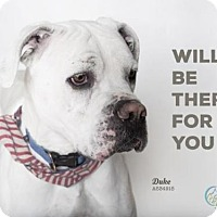Adopt A Pet :: DUKE - Camarillo, CA