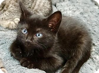 Domestic Shorthair Kitten for adoption in River Edge, New Jersey - Briquette