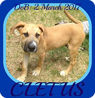 Mastiff/Black Mouth Cur Mix Puppy for adoption in Albany, New York - CLETUS