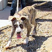 Adopt A Pet :: Tigger - Lindsay, CA