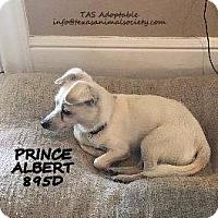 Adopt A Pet :: Prince Albert - Spring, TX