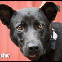 Adopt A Pet :: Asher - West Columbia, SC