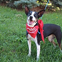 Adopt A Pet :: Munchkin - Chaska, MN
