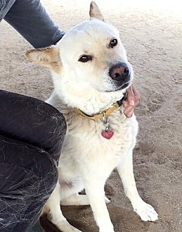 Akita/Jindo Mix Dog for adoption in Romoland, California - Kaskae