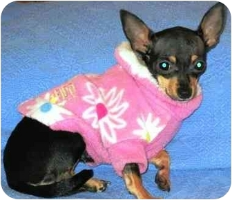 Chihuahua Dog for adoption in Osseo, Minnesota - Princess