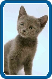 Domestic Shorthair Kitten for adoption in Sterling Heights, Michigan - Liam - ADOPTED!