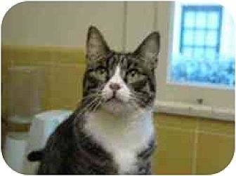 Domestic Shorthair Cat for adoption in Pasadena, California - Etienne