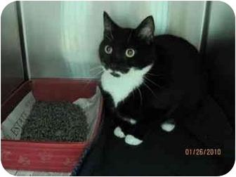 Domestic Shorthair Cat for adoption in Plymouth, Massachusetts - Panda