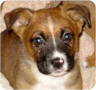 Boxer/German Shepherd Dog Mix Puppy for adoption in Chicago, Illinois - Mitch(ADOPTED!)